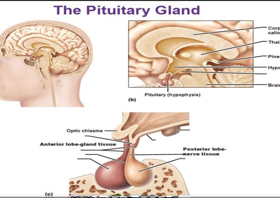 ساختار عصب